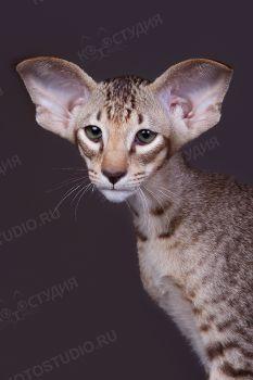 Ориентальный котенок из питомника Jubatus