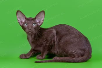 Котенок Ориентальной породы из г. Пенза.