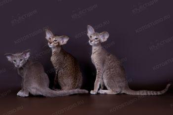 Ориентальные котята из питомника Jubatus. <p>Заводчица Медведева Ксения, г. Чебоксары</p>