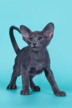 Норион Миссори , питомник ориентальных кошек