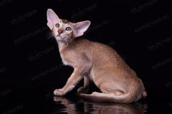 Ориентальный котенок.