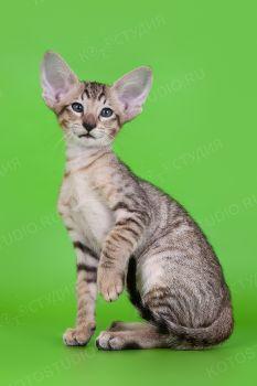 Никки Миссори, ориентальный котенок окраса черный пятнистый. Питомник