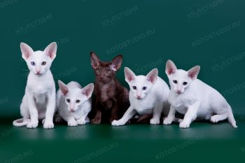 Ориентальные котята. <p>Заводчица Елена Коршунова, г. Пенза</p>