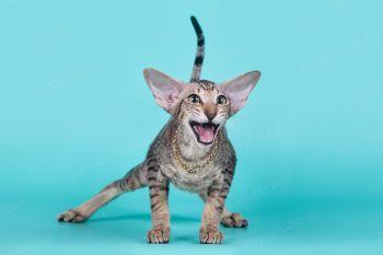 Yagodka Samarskaya Fortuna. Ориентальный котенок девочка из питомника Samarskaya Fortuna.