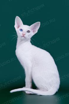 Котенок Ориентальной породы