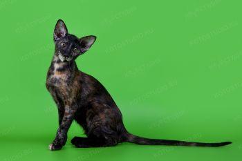 Ориентальный котенок из питомника AKIRA-NEKO.