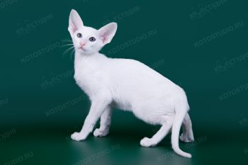 Котенок Ориентальной породы. <p>Заводчица Елена Коршунова, г. Пенза</p>
