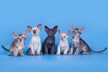 Ориентальные и Сиамские котята из питомника