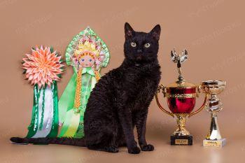 Кошка породы Уральский рекс.