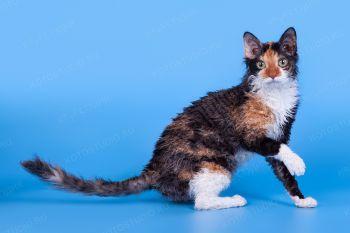 Кошка породы Уральский рекс