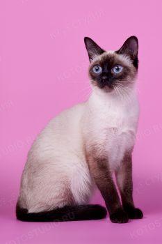 Jolie. <p>Тайская кошка</p>
