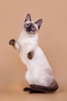 Энигма Сокровище Азии. Тайская кошка.