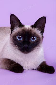Dolores Magic Cat. <p>Тайская кошка</p>