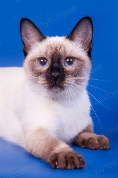 Экайя Сокровище Азии. Тайская кошка окраса сил-пойнт.