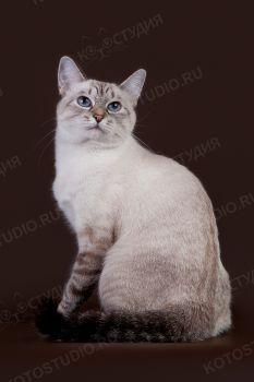 Tissa Thai Shining. <p>Тайская кошка</p>