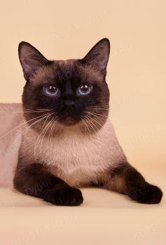 Вильгельм Мэджик Кэт, тайский кот окраса сил-пойнт.