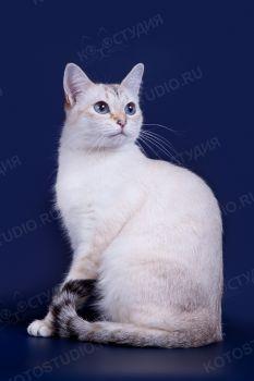 Lissa Thai Shining. <p>Тайская кошка</p>