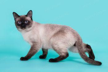 Ластик Сокровище Азии. Тайский кот окраса сил-пойнт.