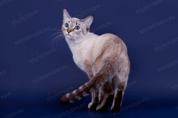 Tutsy Elegant Step. <p>Кошка тайской породы</p>