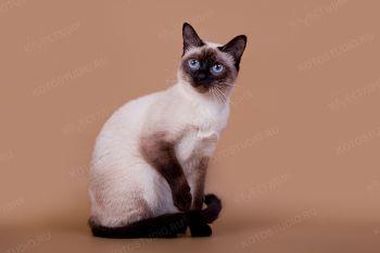 Тайская кошка Jolie.