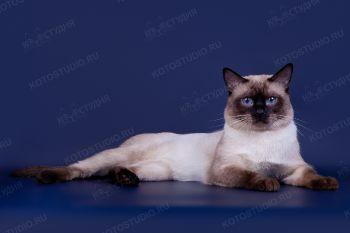 Tiramisu Magic Cat. <p>Кот тайской породы</p>