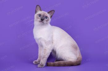 Эйфория. Тайская кошка окраса сил-пойнт.