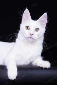 Кошка породы Турецкая Ангора.
