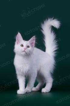 Котенок породы Турецкая Ангора.