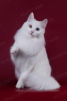 Alsy. <p>Кошка породы Турецкая Ангора из г. Москва</p>