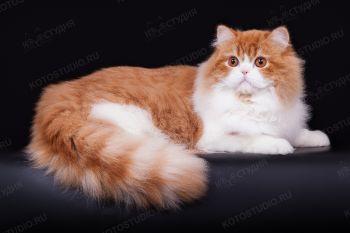 Кошка породы Хайленд страйт.