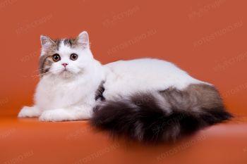 Foldberry Ilang Ilang. <p>Кошка Хайленд страйт из г. Тольятти</p>