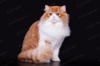 Кошка породы Хайленд страйт