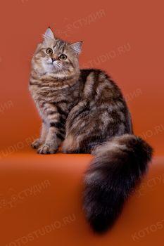 Кошечка хайленд страйт из питомника Bene Vobis.