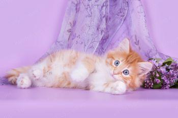 Котенок породы Норвежская лесная.