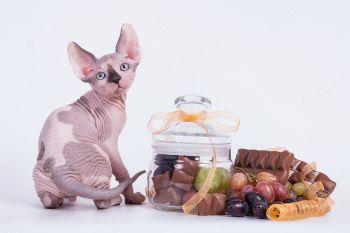 Котенок Канадский сфинкс.