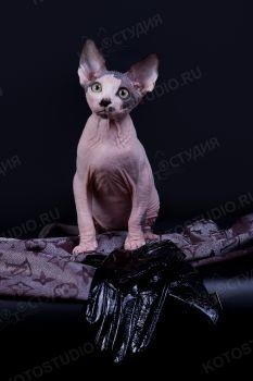 Котенок породы канадский сфинкс из питомника Von Murzipanoff.
