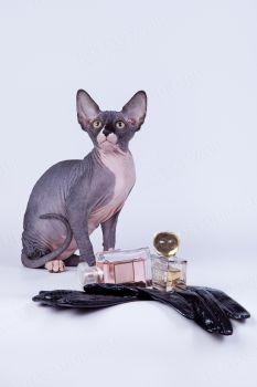 Котенок из питомника Von Murzipanoff.