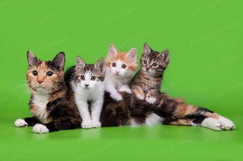 Оливия оф Волга Боб с дочерьми. Котята породы Курильский бобтейл с мамой.