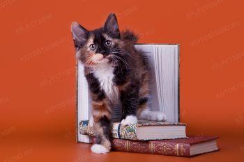 Котенок девочка из питомника Волга-боб
