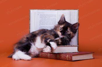 Котенок девочка из питомника Волга-боб.