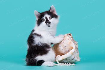 Котенок породы Курильский бобтейл.