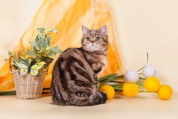 Von Katzenheim Wanda. Британская кошка.