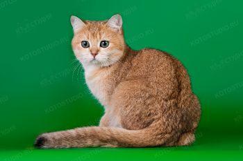 Lensi Golden IDT. <p>Кошка британской породы</p>