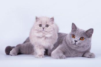 Germiona of Soft Lines и Virginia Grand of Soft Lines. Кошки лилового и голубого окрасов. Питомник британских кошек Soft Lines.