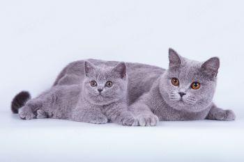 Grace Blue Sky of Soft Lines и Virginia Grand of Soft Lines. Британские кошки голубого окраса из питомника Soft Lines.