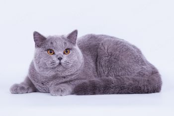 Send Irsei Boss, британский кот голубого окраса. Питомник Soft Lines.