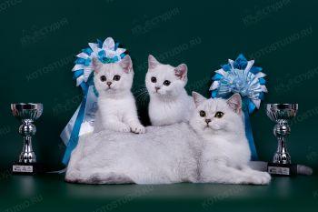 Британская кошка с котятами.