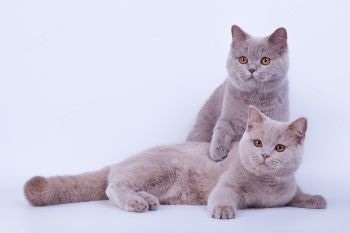 lgnat Golden Sсroll и lvor Golden Scroll. Британские коты окраса лиловый и фавн.