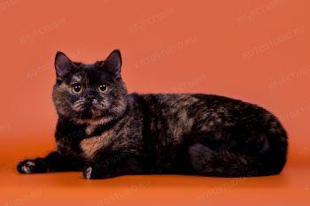 АССОЛЬ of POTALOFFS. <p>Кошка британской породы</p>
