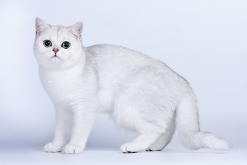 Arsenia Iceberg. <p>Кошка британской породы</p>